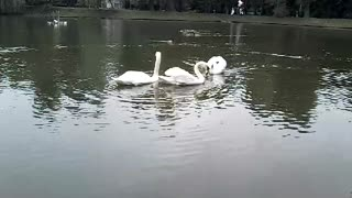 white swans on a pond in the park in the afternoon - Video