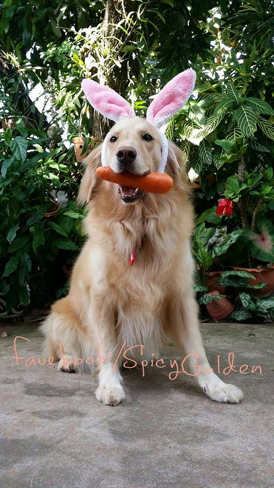 Dog_GoldenRetriever